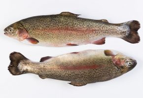 goatsbridge-large-gutted-rainbow-trout